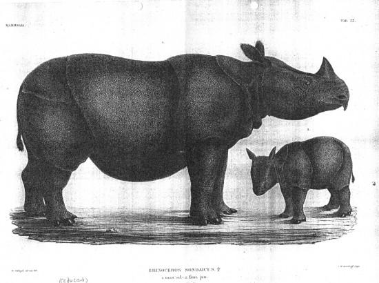 Temminck 1839