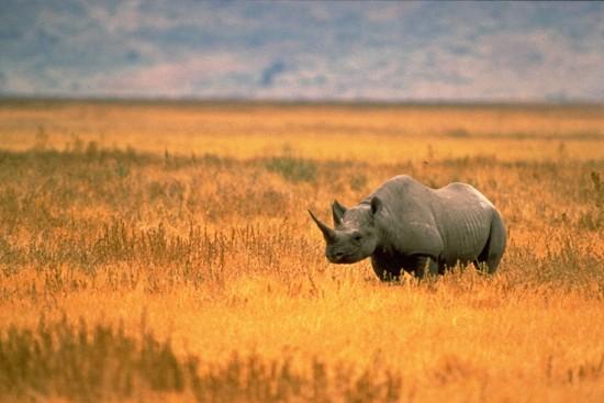 Black Rhino Tanzania