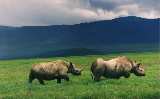Black Rhinos Ngorongoro
