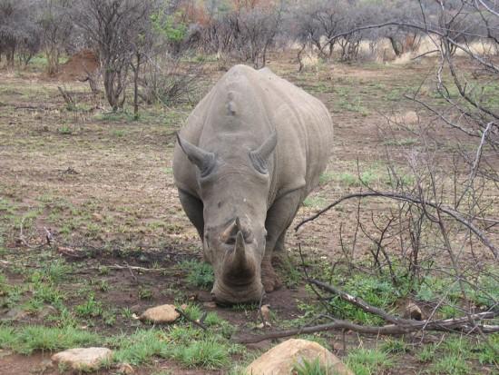 White Rhino Pilanesburg