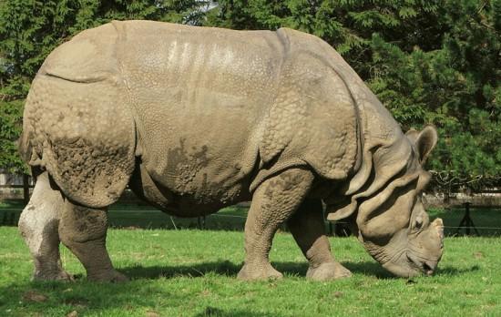 Indian Rhino Whipsnade
