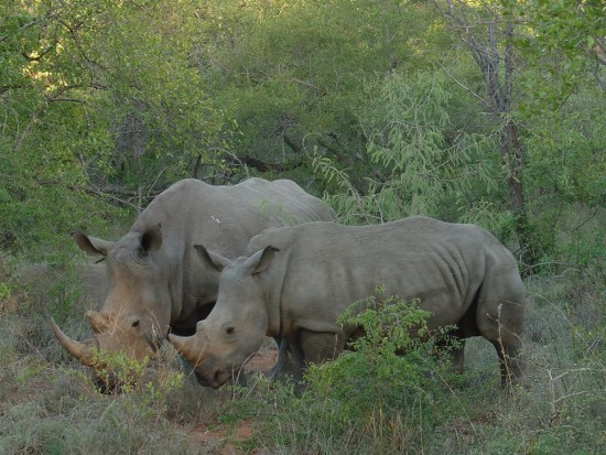 White Rhinos Kruger