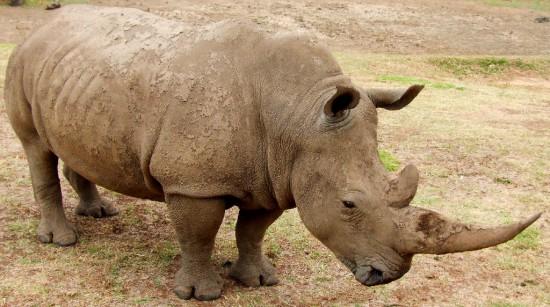 White Rhino Australia