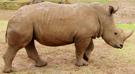 White Rhinoceros Australia