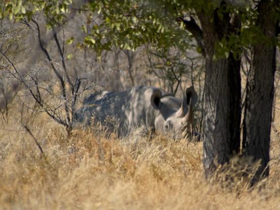 Black Rhino Etosha