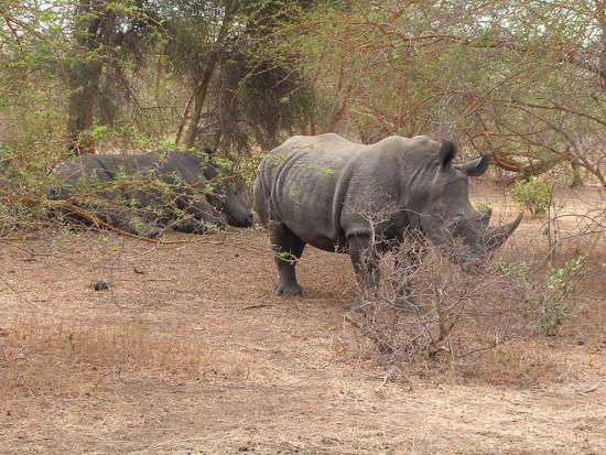 White Rhino Senegal