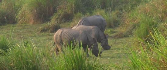 Indian Rhinos Kaziranga