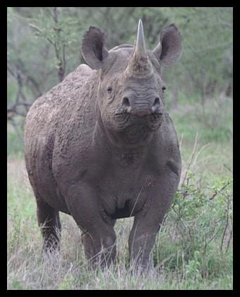 Black Rhino Kruger
