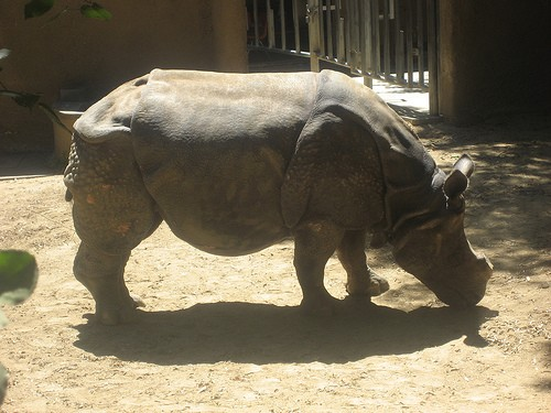 Indian Rhino, Los Angeles