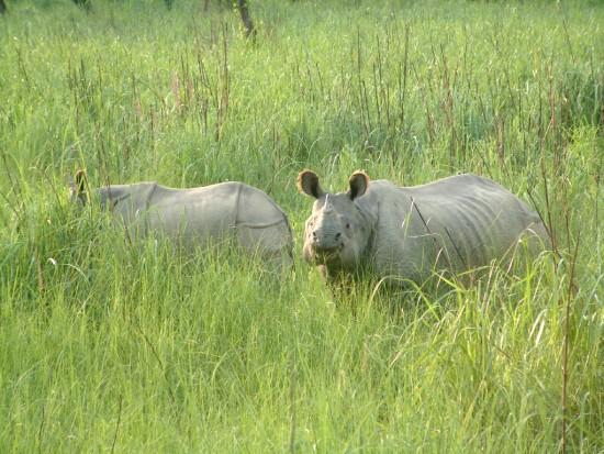 Indian Rhino, Chitwan