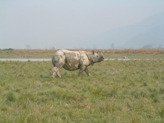 Indian Rhinoceros; Assam