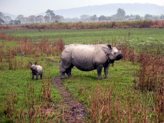 Indian Rhino Kaziranga