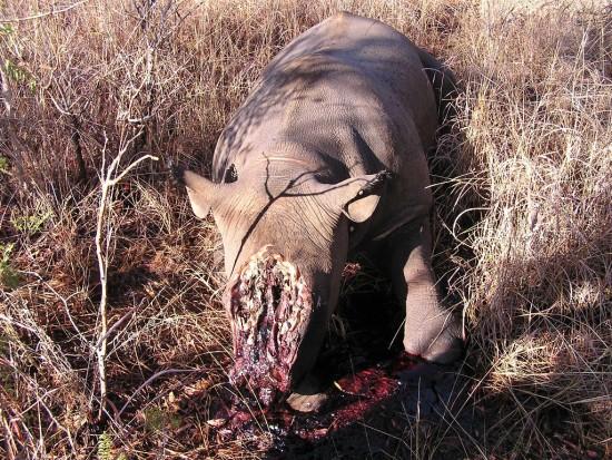 Poached Rhino; Zimbabwe