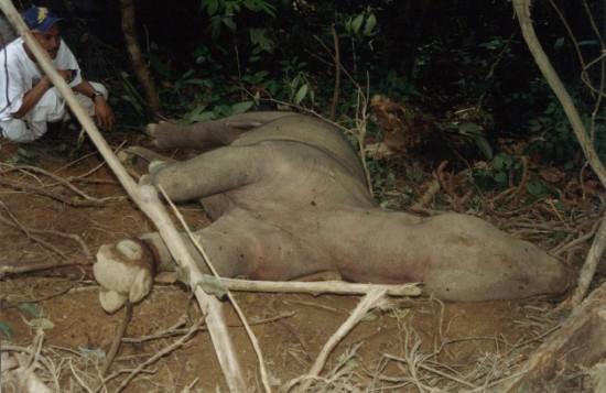 Sumatran Rhino in Snare