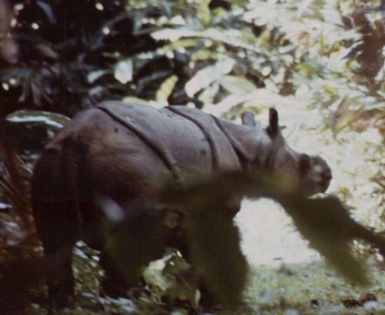 Javan Rhino, Ujung Kulon