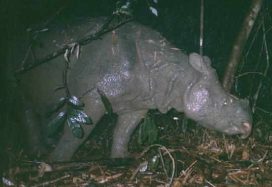 Javan Rhino Cat Tien