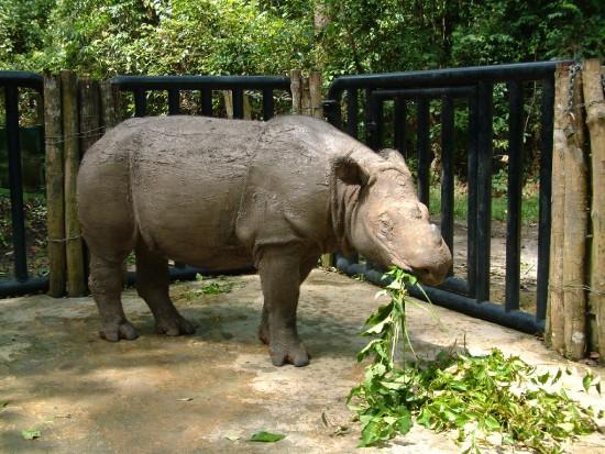 Bina: Sumatran Rhino