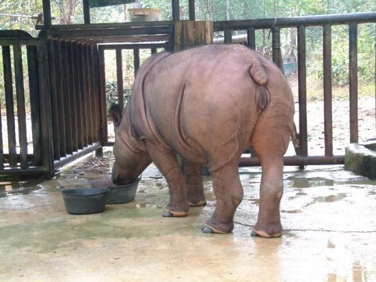 Sumatran Rhino feeding