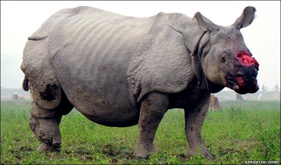 Injured Indian Rhino