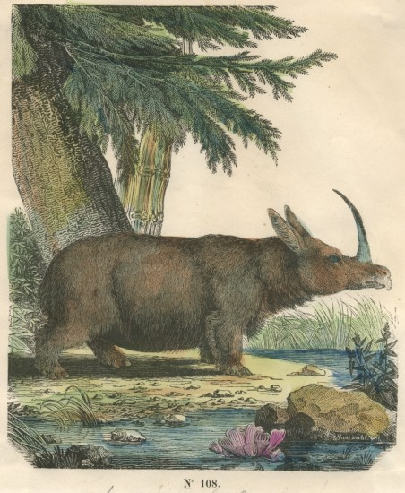 single horned rhino The black rhinoceros or hook-lipped rhinoceros single-horned species of rhino in india, rhinoceros bicornis was used to refer to the african rhinos.