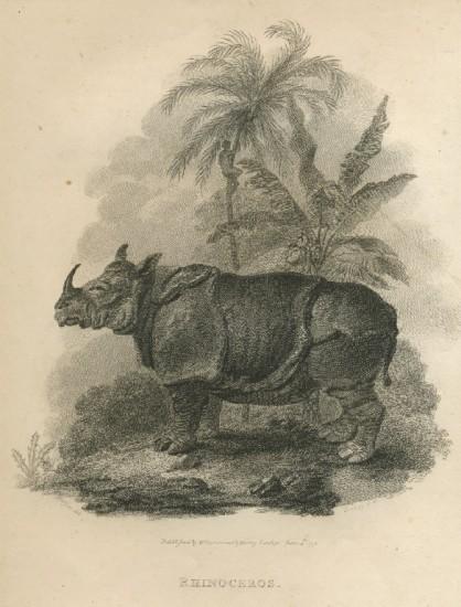 early depiction of Javan rhino