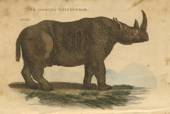 Sparrman African rhino by Brightly & Co.
