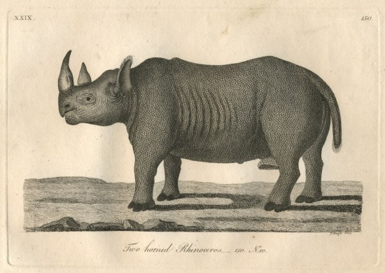 Robt. Jacob Gordon's rhino