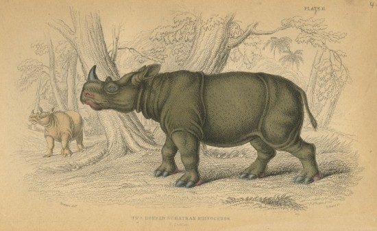 William Jardin Sumatran rhino