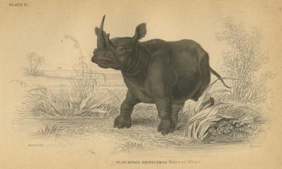 William Jardin African white rhino