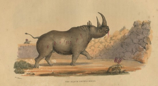 Wm.Cornwallis Harris' black rhino