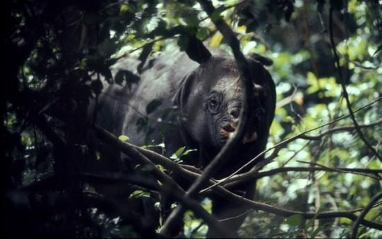 Javan Rhino 00