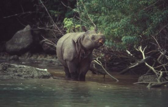 Javan Rhino 12