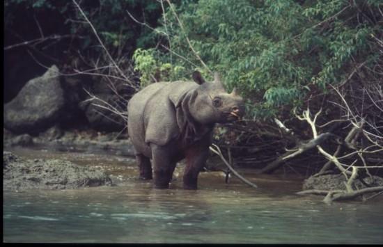 Javan rhino 01