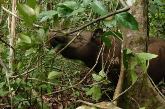 Sumatran 05