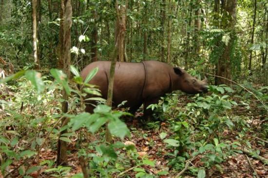 Sumatran 07
