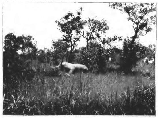 Stigand 1909