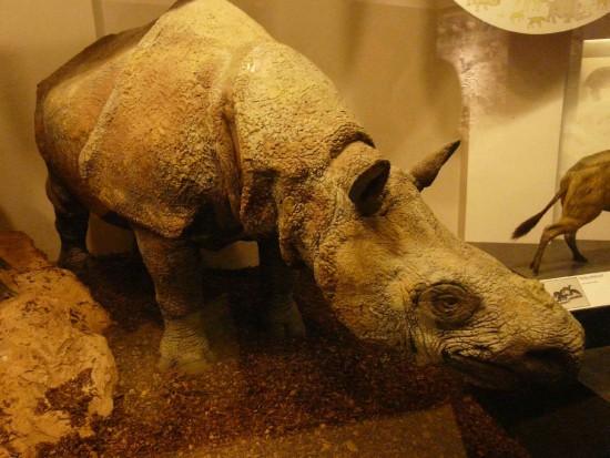 NHM Javan rhino