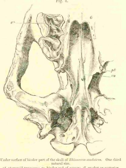 Javan skull hindpart