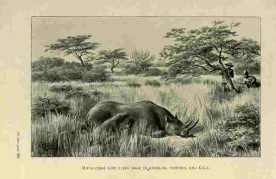 Sykes 1903 calf