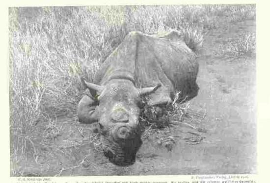 Black rhino in Tanzania
