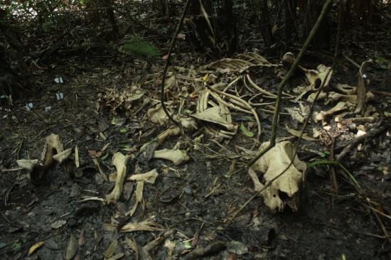 Ujung Kulon skeleton