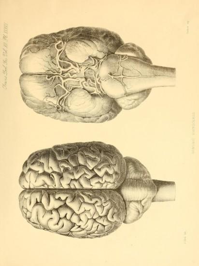 Brain of Javan rhino