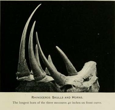 Horn of 40 inch