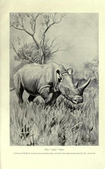 Roosevelt's white rhino