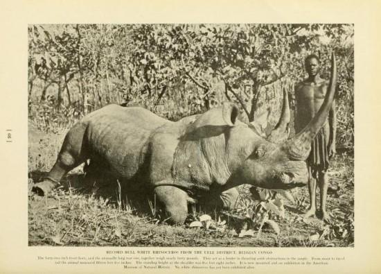 Uele rhino