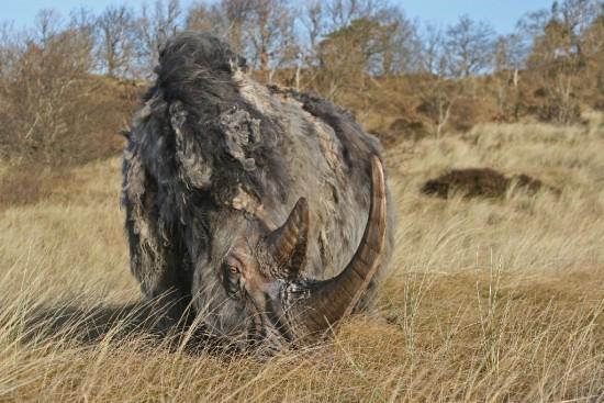 Woolly rhino #04