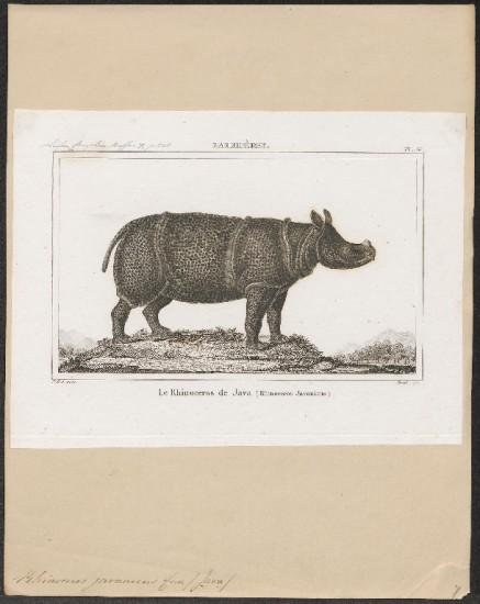 Lesson 1836 javanicus