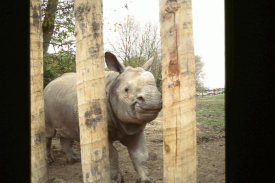 Chester Zoo Indian rhino