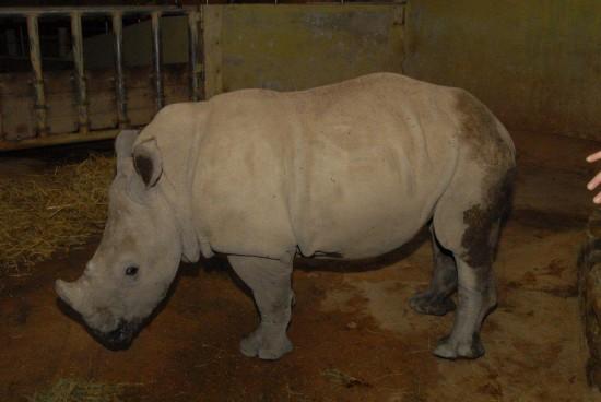 White rhino in Munster