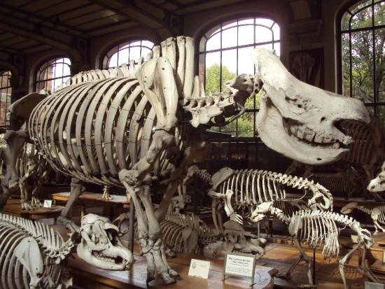 Delegorgue's black rhino